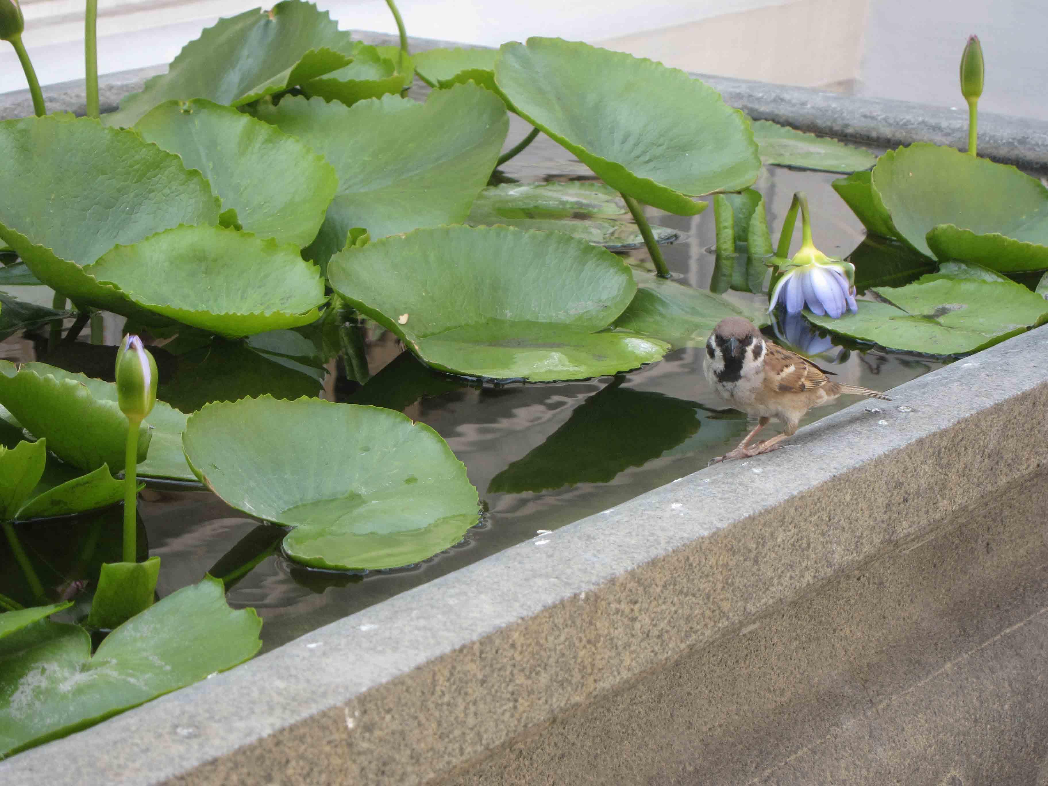 Oiseau-et-lotus-Wat-Phra-Kaew-Bangkok-Thailande.jpg