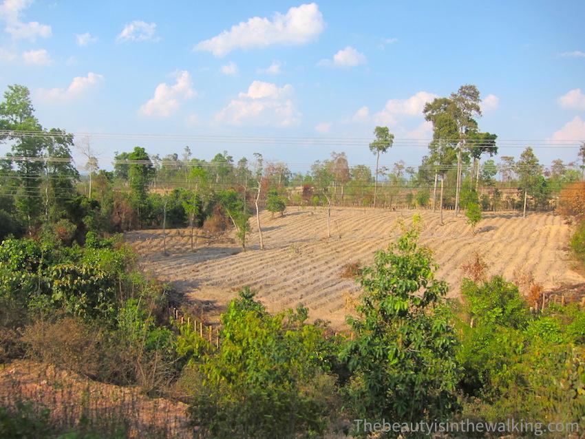 7-champ plantations.JPG