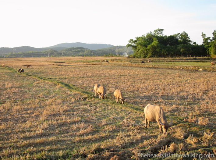 Buffaloes in the fields