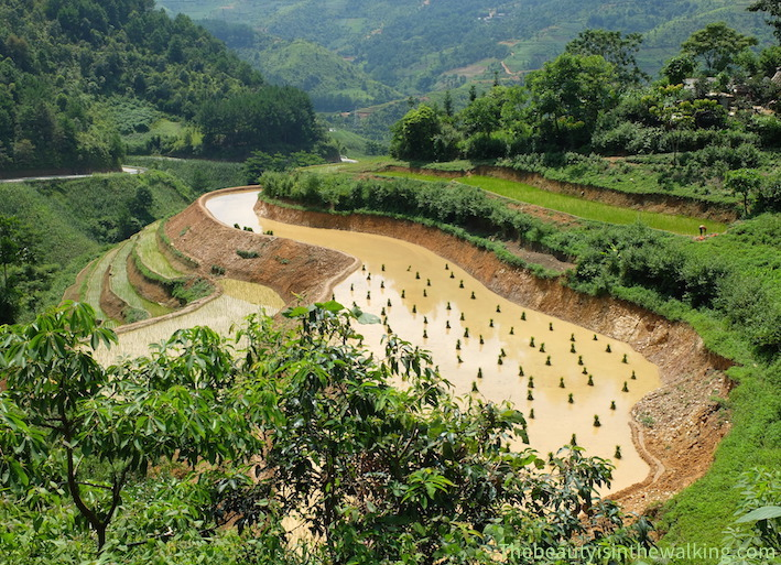 Rice fields being planted - Ha Giang Geopark