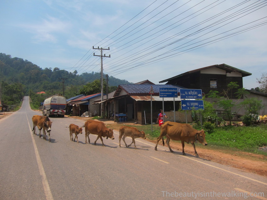 14-vaches route.JPG